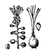 Photographie n°3425 du taxon