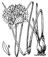 Photographie n°3434 du taxon