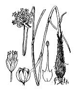 Photographie n°3441 du taxon