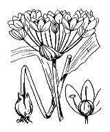 Photographie n°3459 du taxon