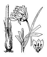 Photographie n°3462 du taxon