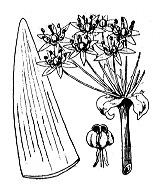 Photographie n°3466 du taxon