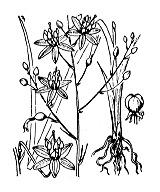Photographie n°3473 du taxon