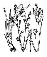 Photographie n°3475 du taxon