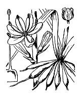 Photographie n°3477 du taxon