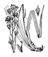 Photographie n°3482 du taxon
