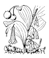 Photographie n°3489 du taxon