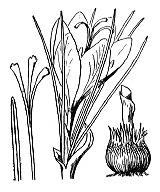 Photographie n°3504 du taxon
