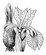 Photographie n°3519 du taxon