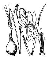 Photographie n°3546 du taxon