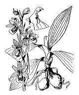 Photographie n°3567 du taxon