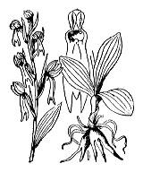 Photographie n°3584 du taxon