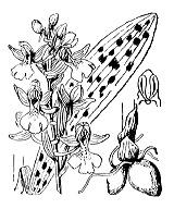 Photographie n°3604 du taxon