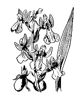 Photographie n°3607 du taxon