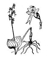 Photographie n°3629 du taxon