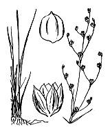 Photographie n°3706 du taxon