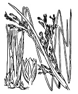 Photographie n°3711 du taxon