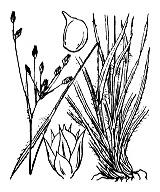 Photographie n°3733 du taxon