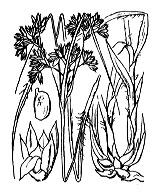 Photographie n°3736 du taxon