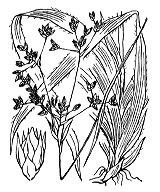 Photographie n°3739 du taxon