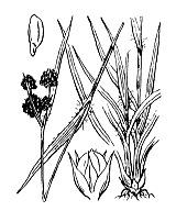 Photographie n°3744 du taxon