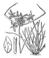 Photographie n°3748 du taxon
