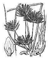 Photographie n°3756 du taxon