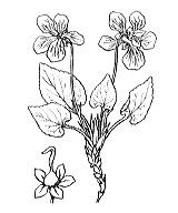 Photographie n°381 du taxon