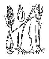 Photographie n°3814 du taxon