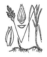 Photographie n°3816 du taxon