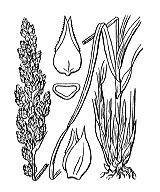 Photographie n°3819 du taxon