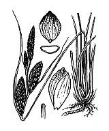 Photographie n°3851 du taxon