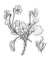 Photographie n°386 du taxon