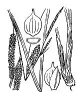 Photographie n°3863 du taxon