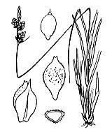 Photographie n°3865 du taxon
