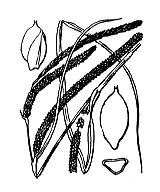 Photographie n°3898 du taxon