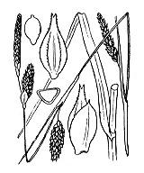 Photographie n°3901 du taxon