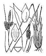 Photographie n°3906 du taxon