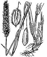 Photographie n°3941 du taxon