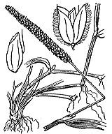 Photographie n°3945 du taxon