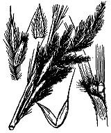 Photographie n°3981 du taxon