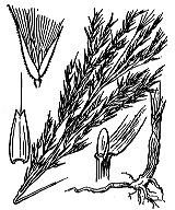 Photographie n°3992 du taxon