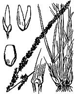 Photographie n°4014 du taxon