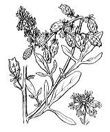 Photographie n°402 du taxon