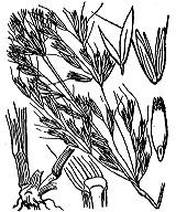 Photographie n°4080 du taxon