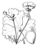 Photographie n°41 du taxon