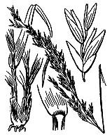 Photographie n°4128 du taxon