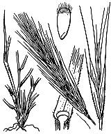 Photographie n°4149 du taxon