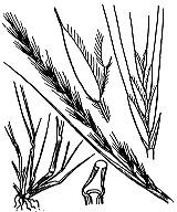 Photographie n°4151 du taxon