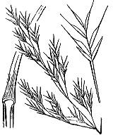 Photographie n°4155 du taxon